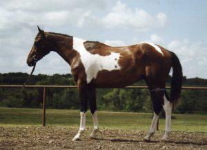 Spinnaker - Horses For Sale