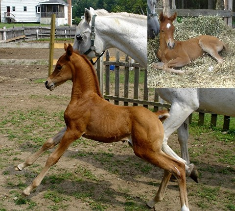 Arabian-Foals-For-Sale