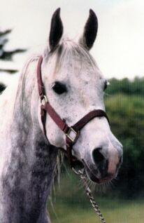 Arabian-Horse-For-Sale