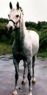 Arabian-Horses-For-Sale