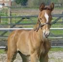 Jive-Time-Sport-Horses-1